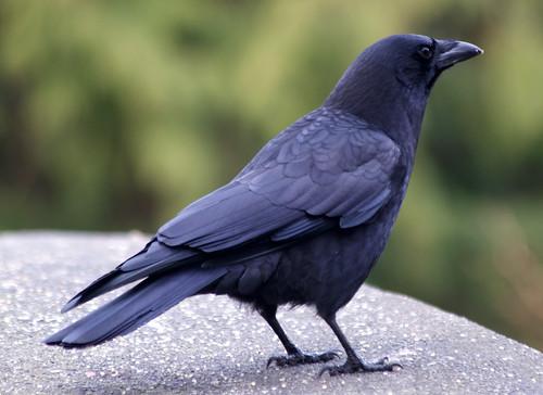 stanley park - northwestern crow