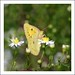 Orange Sulphur (Colias eurytheme) by ilovenorma