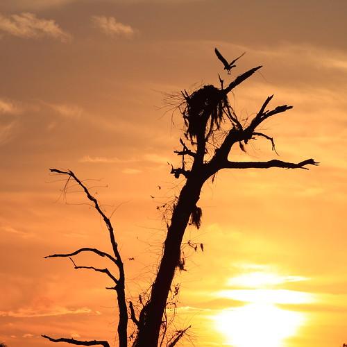 sunset tree nest florida osprey brooksville