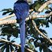 Hyacinth Macaw (Steve Wray)