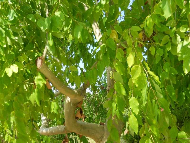 Eucalyptus torelliana 1