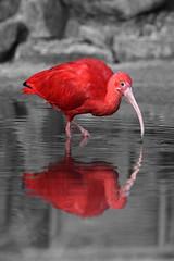 water bird(0.0), flamingo(0.0), animal(1.0), red(1.0), fauna(1.0), close-up(1.0), beak(1.0), ibis(1.0), bird(1.0),