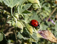 animal, ladybird, leaf, plant, nature, invertebrate, insect, macro photography, flora, green, fauna, close-up, beetle,