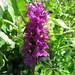 Dactylorhiza majalis - Western Marsh-orchid (Paul Harmes)