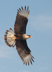 crested caracara spread