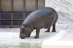 Hippopotamus - 09