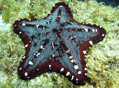 Chocolate chip starfish, Cabo Pulmo, Baja California, Mexico