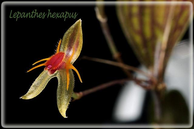 Lepanthes hexapus