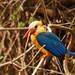 kingfisher _ martin pescador