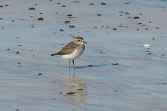 animal, sand, wing, fauna, calidrid, sandpiper, beak, bird, seabird, wildlife,