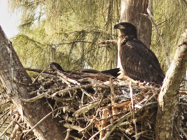 Bald Eaglets Honor and Glory 20140328