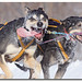 Course de chiens /Sled dog racing IMG_9028 copie by salmo52