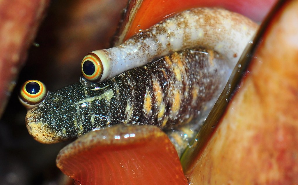 Stawberry conch (Strombus luhuanus )