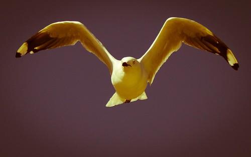 nature birds seagull australia westernaustralia mewa