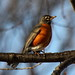 American Robin on Branch