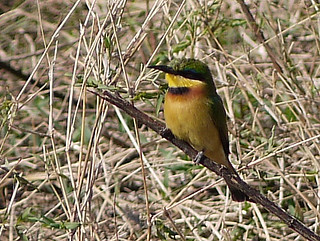 Little Bee-Eater - Ngorongoro Crater