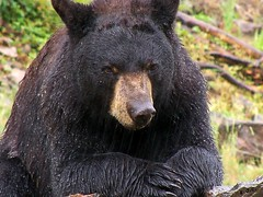 *The Big Black Bear*