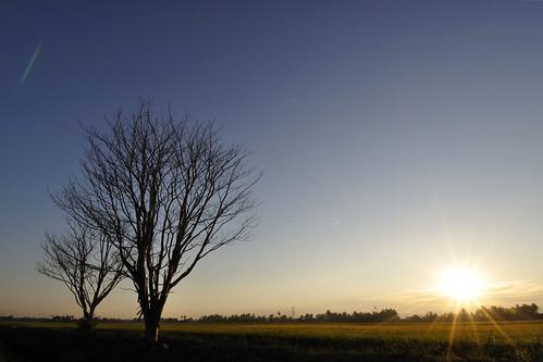 life winter sunset sun tree branches malaysia penang 冬天 日落 paddyfield 稻田 黄昏 枯树 生命 枯木 pulaupinang 冬日 马来西亚 槟城 大马 tasekgelugor