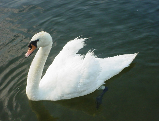 Matriach of the Seven-Swans-A-Swimming Family   Flickr - Photo Sharing ...