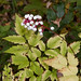 white baneberry - Photo (c) Kent McFarland, some rights reserved (CC BY-NC)