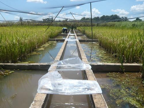 Amostragem de emissão ebulitiva em área de cultivo alagada, com funis coletores adaptados a águas rasas, Mococa, SP.