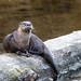 River Otter (Paul Marshall)