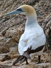 animal, wing, fauna, gannet, beak, bird, seabird, wildlife,