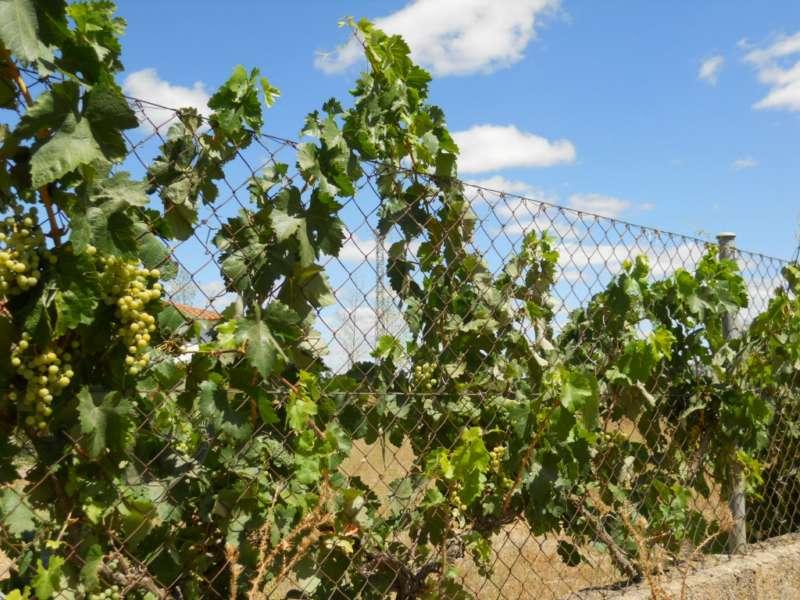 Vitis vinifera 2