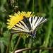 Scarce Swallowtail (Peter Dunn)