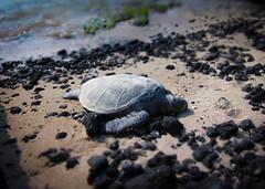 sea(0.0), leatherback turtle(0.0), animal(1.0), turtle(1.0), reptile(1.0), loggerhead(1.0), nature(1.0), marine biology(1.0), fauna(1.0), close-up(1.0), rock(1.0), wildlife(1.0), sea turtle(1.0),