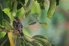 Spanish Sparrow (Passer hispaniolensi)