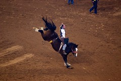 animal sports, rodeo, cattle-like mammal, jumping, equestrian sport, tradition, sports,