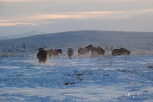 Jeunes chevaux iakoutes par -50°C - Tomtor - Iakoutie - Sibérie  © Bernard Grua 2010