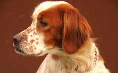 kooikerhondje(0.0), harrier(0.0), king charles spaniel(0.0), drentse patrijshond(0.0), setter(0.0), french spaniel(0.0), dog breed(1.0), animal(1.0), dog(1.0), welsh springer spaniel(1.0), pet(1.0), brittany(1.0), spaniel(1.0), close-up(1.0), english springer spaniel(1.0), carnivoran(1.0),