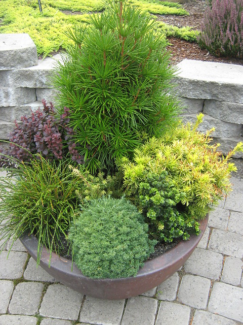 Dwarf Evergreen Landscaping Trees Bing Images