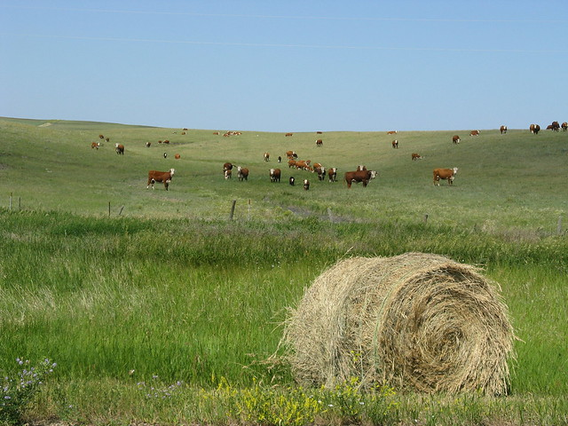 cattle grazing on hill