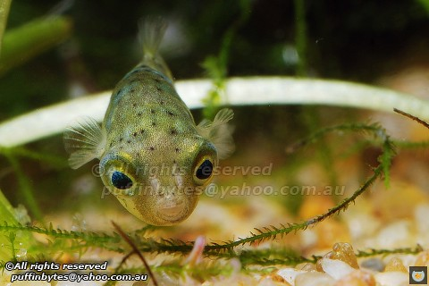 Dwarf Pufferfish - Tetraodon travancoricus Flickr - Photo Sharing!