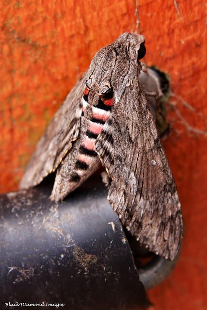Agrius convolvuli - Convolvulus Hawk-moth