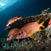 Sabre squirrelfish by Bigeye Bubblefish [  Addict  ]