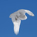 Snowy Owl in Flight DSC_9639