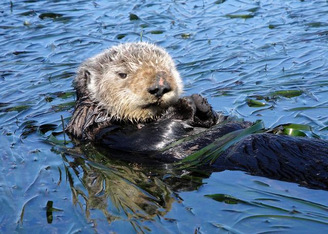 CA Sea Otter