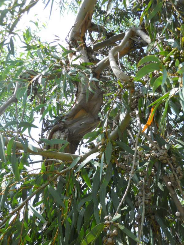Eucalyptus diversifolia v 2
