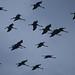 Common Cranes in flight (Malcolm Stott)