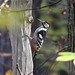 White-backed Woodpecker (Malcolm Stott)