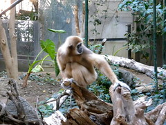 gibbon, animal, monkey, zoo, mammal, fauna, ape,