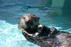 animal, seals, marine mammal, mustelidae, fauna, sea otter, harbor seal,