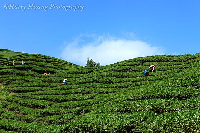 茶园-大鞍竹海风景区-高山茶 tea garden, tea plantation, nantou