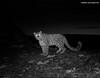 Devekh the snow leopard