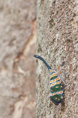lantern bugs of malaysia Pyrops spinolae IMG_9393 copy