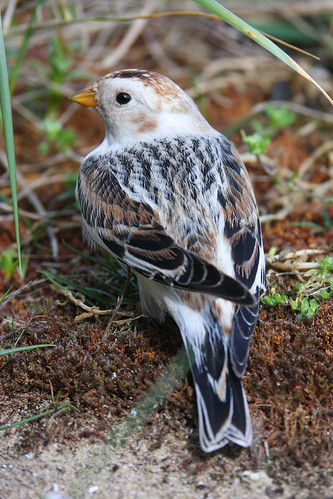 Portrait of a Snow Bunting